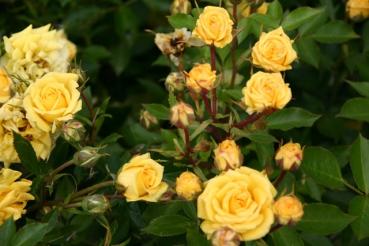 Rose Sonnenkind Foto Rosen-direct