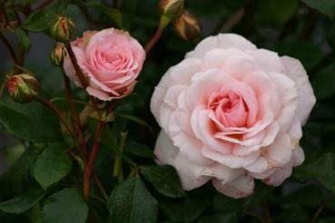 Rose: Bremer Stadtmusikanten Foto Rosen-Direct.de