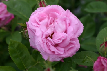 Rose: Mrs John Laing Foto Rosen-Direct.de