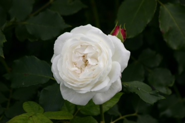 Rose: Boule de Neige Foto Rosen-Direct.de