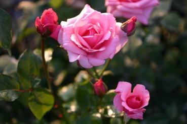 Rose: Carina Foto Rosen-Direct.de