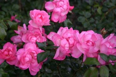 Bestellmöglichkeit Rose: Centennaire de Lourdes Foto Rosen-direct