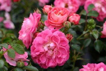 ADR - Rose: Charmant Foto Rosen-Direct.de