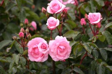 Rose: Diadem Foto Rosen-Direct.de
