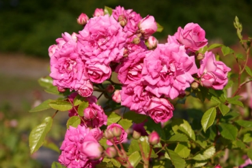 Rose Super Dorothy Foto Rosen-direct