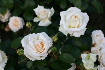 Rose: Ambiente Foto Rosen-Direct.de