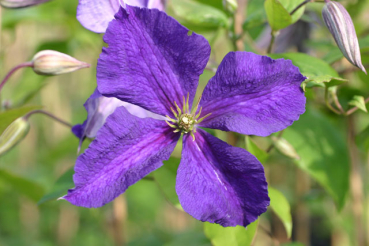 Clematis Superba Foto rosen-direct