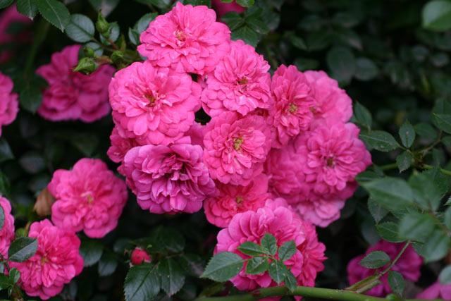 Rose Knirps Foto rosen-direct