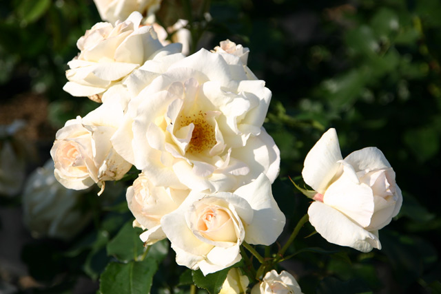 Rose Schneewalzer Foto rosendirect