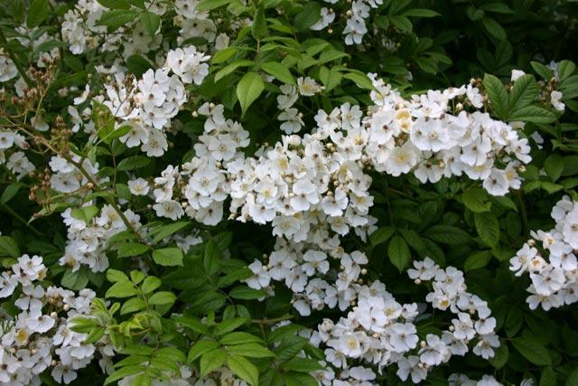 Rosa multiflora Foto rosendirect