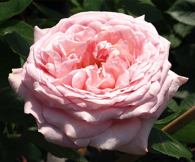 Rose Estefania Foto rosen-direct