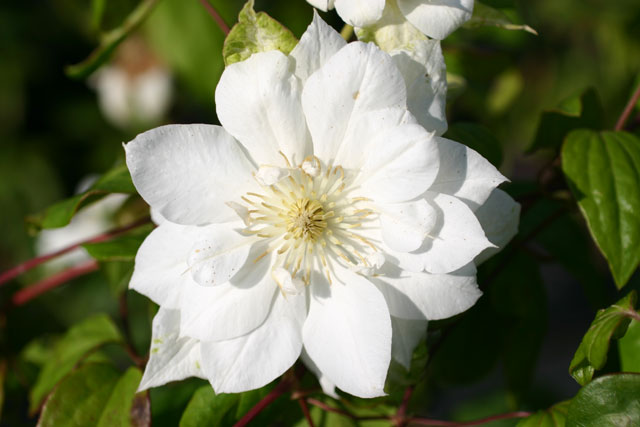 Clematis Duchess of Edinburgh Foto rosendirect