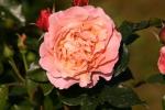 Rose: Marie Curie Foto Rosen-Direct.de