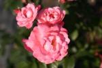 Rose: Mein schoener Garten Foto Rosen-Direct.de