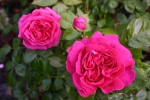 Rose: Mme Isaac Pereire Foto Rosen-Direct.de