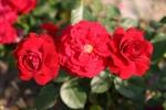 Rosen-Direct.de: Nina Weibull - Container Rose im 4 ltr. Topf
