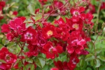 Rose Red Meidiland Foo rosen-direct