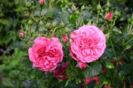 Rose: Rosarium Uetersen Foto Rosen-Direct.de