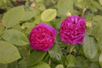 Rose: Rose de Resht Foto Rosen-Direct.de