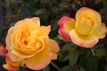 Rose: Speelwark Foto Rosen-Direct.de