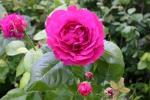 Rose: Ulrich Brunner Fils Foto Rosen-Direct.de