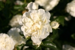 White Meidiland Rose   Foto Rosen-direct