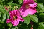 Rose: Rosa rugosa Foto Rosen-Direct.de