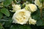 Rose: Elfe Foto Rosen-Direct.de