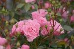Rose: Bonica 82 Foto Rosen-Direct.de