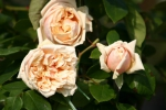 Rose: Gloire de Dijon Foto Rosen-Direct.de