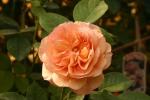 Rose: Charles Austin Foto Rosen-Direct.de