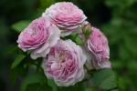 Rose: Florence Delattre Foto Rosen-Direct.de