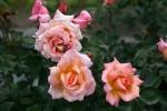 ADR - Rose: Compassion Foto rosendirect