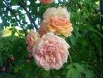 Rosen-Direct.de: Alchymist - Container Rose im 5 ltr. Topf