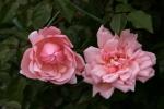 Rose Albertine Foto rosen-direct