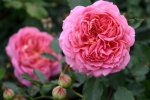 Jubilee Celebration Rose Foto rosen-direct