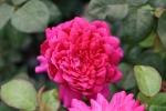 Rose Sophy`s Rose Foto Brandt