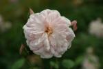 Rose Mortimer Sackler Foto rosen-direct