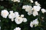 Rosen-Direct.de: Petticoat - Container Rose im 5 ltr. Topf