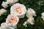 Julia Renaissance Rose Foto Rosen-direct
