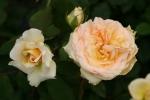 Rosen-Direct.de: Sophia Renaissance - Container Rose im 5 ltr. Topf