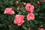 Rose Grimaldi Foto rosendirect