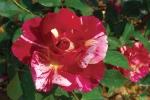 Rose Maurice Utrillo Foto rosen-direct