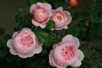 Rose Queen of Sweden Foto Rosen-direct