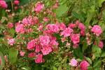 Rose Lovely Fairy Foto rosen-direct