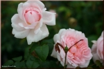 Rose Eglantyne, Eglantine  Foto Rosen-direct