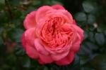Rose Queen of Hearts  Foto rosen-direct