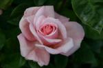Rose Sachsenperle Foto rosen-direct