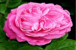 Rose Miss Piggy Vitalrose Foto rosen-direct