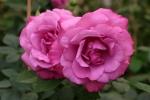Rose Lila Wunder Foto rosen-direct